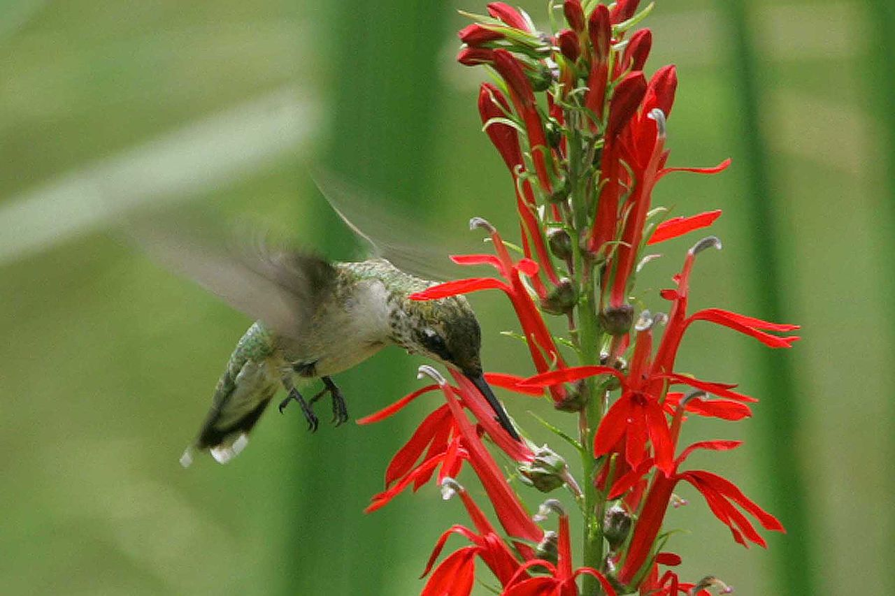 Plants that Attract Hummingbirds to Your Texas Garden